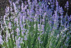 Purple Violet Lavender Flowers in Bloom Field closeup background. Selective focus used. Purple Violet Lavender Flowers in Bloom Field closeup background royalty free stock photography