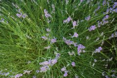 Purple Violet Lavender Flowers in Bloom Field closeup background. Selective focus used. Purple Violet Lavender Flowers in Bloom Field closeup background royalty free stock photos