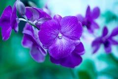 Purple of Violet Orchid Royalty-vrije Stock Foto's