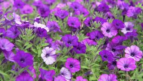 Purple and Violet Petunia Blooming. Garden stock footage