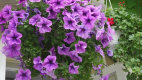 Purple violet petunia hybrida flower bed floral background. Blooming flowers in garden basket, flowerbed. Spring time Stock Photo