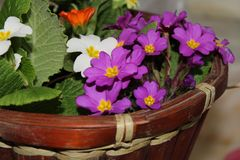 purple violet in pots stock image