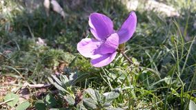 Purple violet royalty free stock images