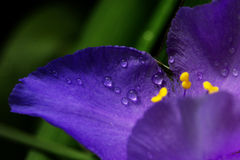 Purple violet spring flowers with water drops. A close-up shot of droplets on a spring flower Stock Images