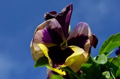 Purple violet and yellow flower. In summer Stock Images
