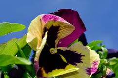 Purple violet and yellow flower in summer. Sunshine Royalty Free Stock Images