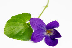 Purple Violets Stock Photos