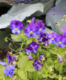 Purple violets Stock Images