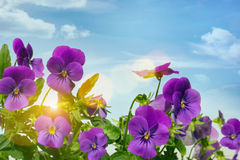 Purple violets against a sky background Royalty Free Stock Photography
