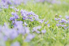 Pastel purple violets blooming in new spring grass in field Royalty Free Stock Photos