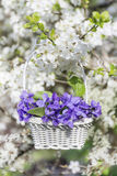 Purple violets flowers in a basket hanging on the branches of a cherry tree Stock Photo