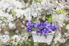 Purple violets flowers in a basket hanging on the branches of a cherry tree Stock Photos