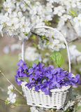 Purple violets flowers in a basket hanging on the branches of a cherry tree Stock Images