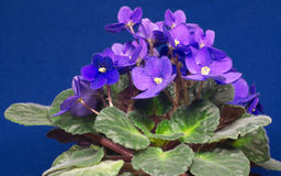 Purple violets isolated on blue. Home purple violets isolated on blue Royalty Free Stock Image