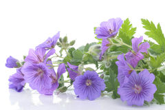 Purple violets over white Royalty Free Stock Images