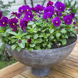 Purple violets in port Royalty Free Stock Images