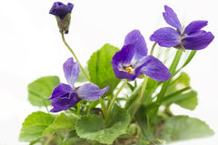 Purple violets (Viola Odorata) Royalty Free Stock Photo