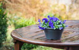 Purple violets on a wet garden table Stock Photos