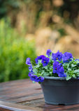Purple violets on a wet garden table Stock Images