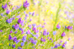 Purple Viper's Bugloss on the blurred background Stock Photography