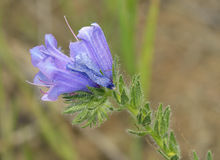 Purple Vipers Bugloss Stock Images