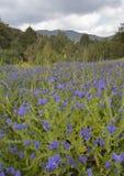 Purple Vipers Bugloss Stock Image
