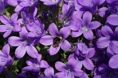 Bumblebee in purple flower Royalty Free Stock Image