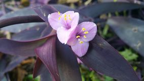 Purple wandering jew Royalty Free Stock Images