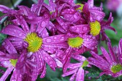 Purple water flowers stock photography