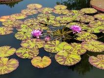 Purple water flowers royalty free stock photos