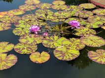 Purple water flowers Stock Images