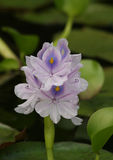Purple Water Hyacinth with green lily pads Stock Photography