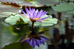 Purple Water Lilie. A single purple water lilie with a vivid reflection in the water Stock Images