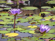 Purple water lilies. Closeup of blooming purple water lilies on lake royalty free stock photo