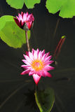 Purple water lilies Royalty Free Stock Photos