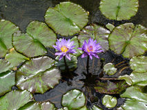 Purple Water Lilies. With green lily pads Royalty Free Stock Images