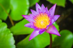Purple water lilies Royalty Free Stock Image