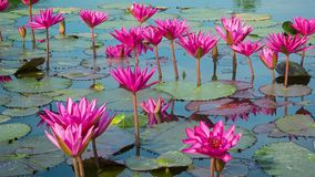 Purple water lilies in garden ponds stock video footage