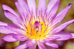 Purple water lilies Stock Image