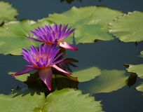 Purple water lilies in pond.  Royalty Free Stock Image