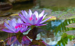 Purple Water Lilies in Pond. Two purple water lilies in pond with reflection in full bloom Stock Photos