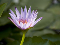 Purple Water Lillies Stock Images