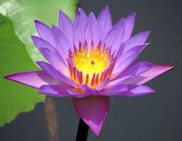 Purple water lilly Royalty Free Stock Photo