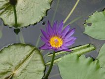 Purple Water Lilly. Beautiful Purple and Yellow Lilly Stock Photos