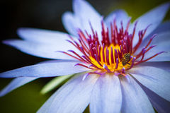 Purple water lilly with bee. Against blurred background royalty free stock photography