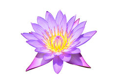 Purple water lilly. Blooming purple lotus flower or Purple water lilly Royalty Free Stock Images