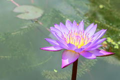 Purple water lilly. Blooming purple lotus flower or Purple water lilly Stock Photography