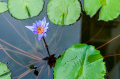 Purple water lilly blooming at the pond Royalty Free Stock Image