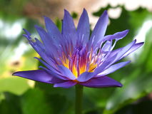 Purple water lilly. In closed up Stock Photography