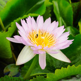 Purple water lilly Royalty Free Stock Photos